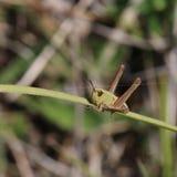Änggräshoppa (den Chorthippus parallelusen) Royaltyfri Fotografi