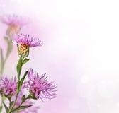 Ängknapweedblomma på slapp bakgrund Arkivfoton