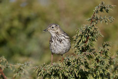 Ängpipit, Anthuspratensis Arkivfoto