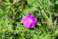 Ängrosa färgblomma Royaltyfria Bilder