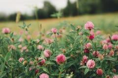 Ängväxt av släktet Trifolium under skogar och kanter av himlen Royaltyfria Foton