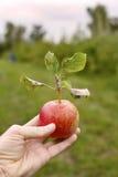 Äpfel 12 Stockfotografie