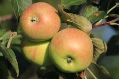 Äpfel stockfoto