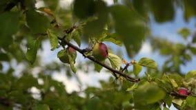 Äpfel stock footage