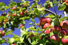 Äpfel auf Baum Lizenzfreies Stockfoto