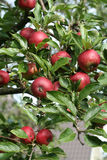 Äpfel auf Baum Stockfoto