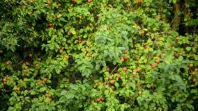 Äpfel auf Baum stock video