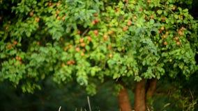 Äpfel auf Baum stock footage