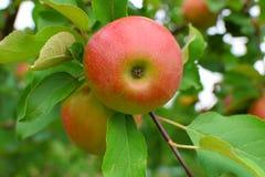 Äpfel auf Baumast Lizenzfreies Stockfoto