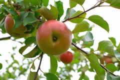 Äpfel auf Baumast Lizenzfreie Stockfotografie
