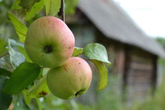 Äpfel auf dem Apfelbaum lizenzfreies stockfoto
