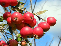 Äpfel auf dem Apfelbaumzweig lizenzfreie stockbilder