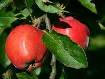 Äpfel auf dem Baum Stockfotos