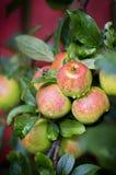 Äpfel auf dem Baum Stockfoto