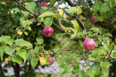 Äpfel auf der Niederlassung eines Baums lizenzfreie stockfotografie