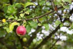 Äpfel auf der Niederlassung eines Baums stockfotografie