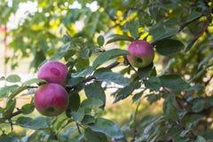 Äpfel auf der Niederlassung eines Baums im Herbst arbeiten im Garten Stockfoto