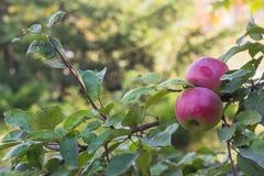 Äpfel auf der Niederlassung eines Baums im Herbst arbeiten im Garten Stockbild