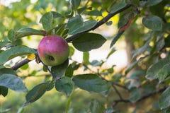 Äpfel auf der Niederlassung eines Baums im Herbst arbeiten im Garten Lizenzfreies Stockbild