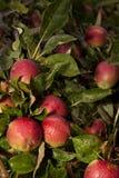 Äpfel auf einem Apfelbaum Stockfoto