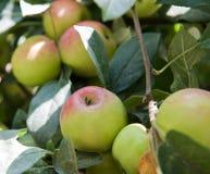 Äpfel auf einem Applebaum verzweigt sich Lizenzfreie Stockfotografie