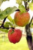 Äpfel auf einem Baum Lizenzfreie Stockfotografie