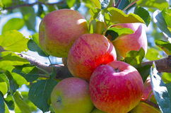 Äpfel auf einem Baum Stockbild