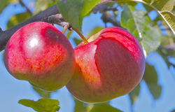 Äpfel auf einem Baum Stockfotografie