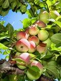 Äpfel auf einem Baum Lizenzfreies Stockbild