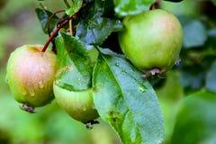 Äpfel auf einem Zweig lizenzfreie stockfotografie
