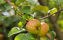 Äpfel auf einem Zweig Stockfoto
