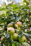 Äpfel auf einem Zweig Stockbild