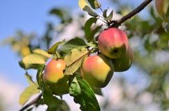 Äpfel auf einer Niederlassung Stockbild