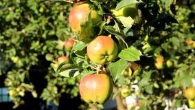 Äpfel auf einer Niederlassung stock video