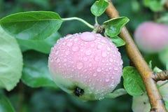 Äpfel auf einer Niederlassung Lizenzfreie Stockfotografie