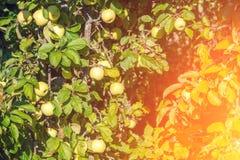 Äpfel auf einer Niederlassung in einem Obstgarten Stockbilder