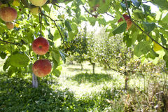 Äpfel auf Niederlassungen im Garten Stockbilder