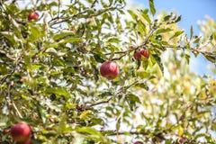 Äpfel auf Zweig Stockbild