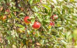 Äpfel auf Zweig Lizenzfreie Stockfotos