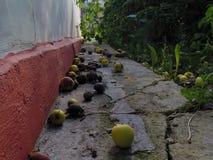 Äpfel aus den Grund Stockfotos