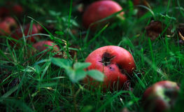 Äpfel aus den Grund Stockbild
