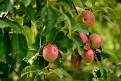 Äpfel bereit zu ernten Stockbilder
