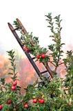 Äpfel bereit zum Ernten Lizenzfreies Stockfoto