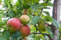Äpfel betriebsbereit gezupft zu werden Stockfotografie