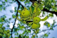 Äpfel in der Natur Lizenzfreie Stockfotos