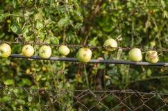 Äpfel in der Reihe Lizenzfreie Stockfotos