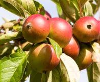 Äpfel, die auf dem Baum reifen Stockfotos