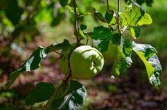 Äpfel, die in einem Hausgarten wachsen stockfotos