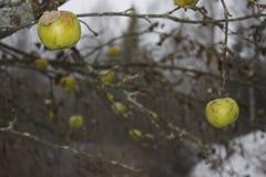 Äpfel, die im kalten Regen hängen Lizenzfreie Stockfotos