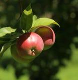 Äpfel in einem Baum Stockbild